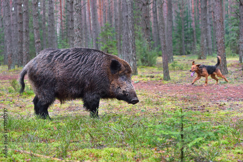 Poster Chasse Hunting on wildboar