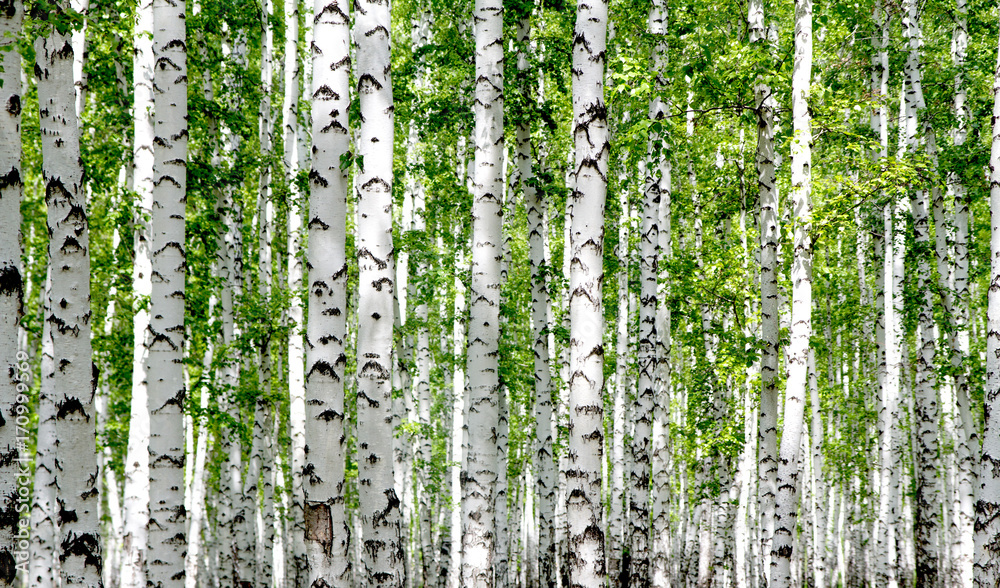 Fototapety, obrazy: White birch trees in the forest in summer