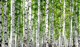 Fototapeta Do przedpokoju - White birch trees in the forest in summer