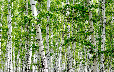 Panel Szklany Podświetlane Do sypialni White birch trees in the forest in summer