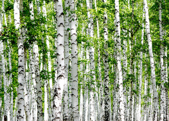 Fototapeta White birch trees in the forest in summer