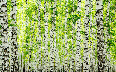 FototapetaWhite birch trees in the forest in summer