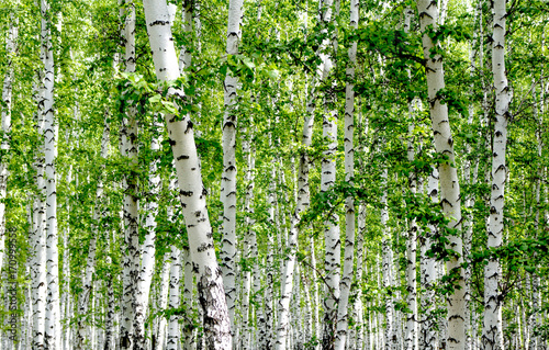 Tuinposter Berkbosje White birch trees in the forest in summer