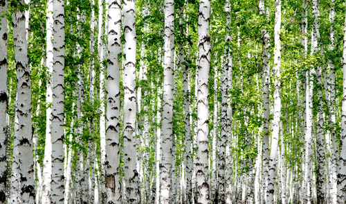 Obraz White birch trees in the forest in summer - fototapety do salonu