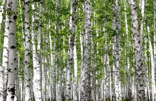 Tuinposter Berkbosje White birch trees in the forest in summer