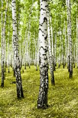 Fototapetabirch forest summer landscape