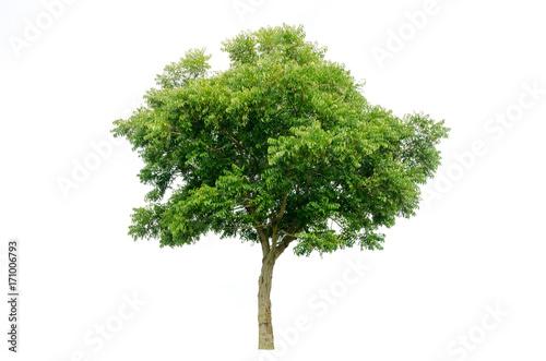 Fototapeta tree isolated on white background