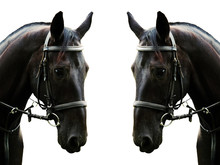 Portrait Of A Black Horse Isolated And Mirrored Horizontally On A White Background. Beautiful Sport Horse In Black Bridle