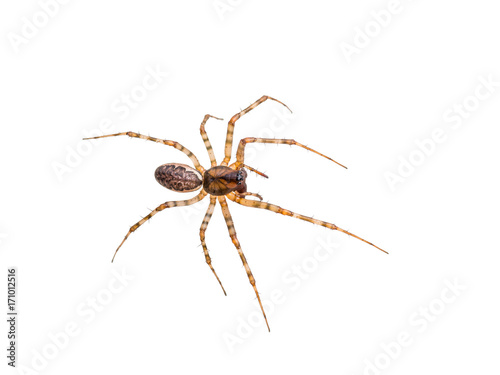 Long-Legged Crawling Spider Isolated on White