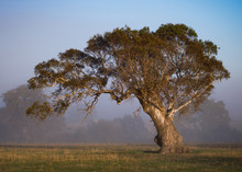 Gum Tree In The Field