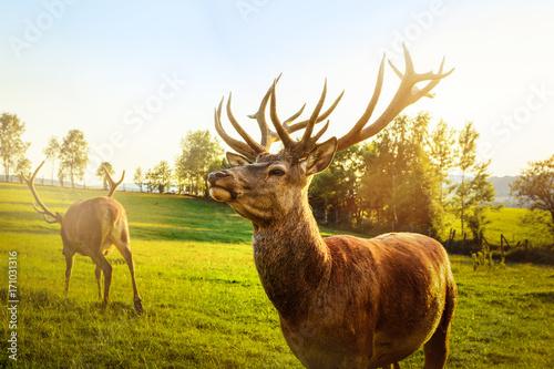 Spoed Foto op Canvas Hert Wild lebende Tiere - Hirsch mit Geweih