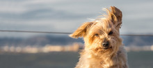 Funny Dog With Curiosity Expression. Copy Space, Blurred Nautical Background. Doggy Hairy Ear Flying In The Wind, Nose And Snout, Yorkshire Terrier Brown. Hey What's Up, Curiosity Expression