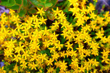 Beam Flowers Of St. John's Wort
