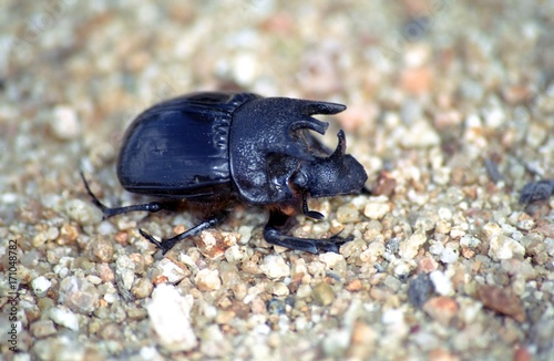 Photo Rhino beetle, Kruger National Park, South African Republic