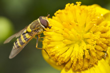 Hoverfly Feeding On The Stamen Of A Yellow Daisy