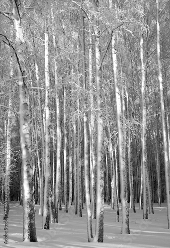 Winter trunks of birches black and white Canvas