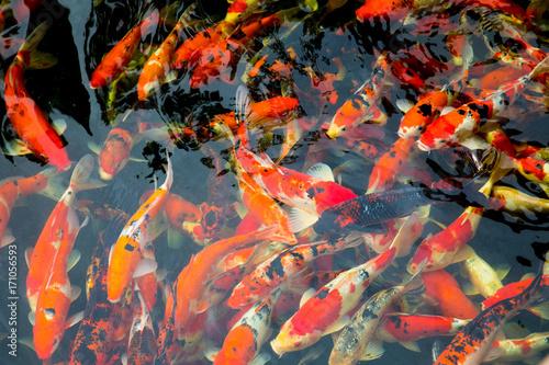 japonskie-pomaranczowe-ryby