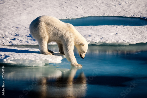 Spoed Fotobehang Ijsbeer Majestic polar bear looking into mirror