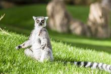 Ring-tailed Lemur (Lemur Catta...