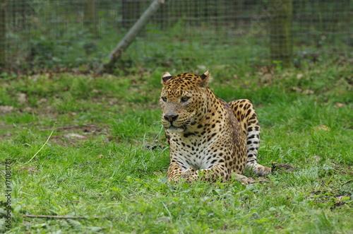 Foto op Aluminium Luipaard Jaguar