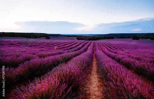 Foto op Aluminium Snoeien Beautiful image of lavender fields. Summer sunset landscape