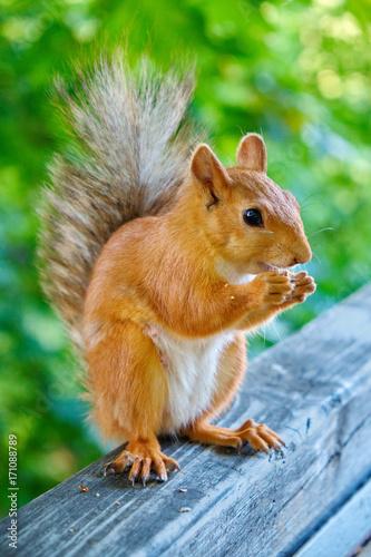 Zdjęcie XXL Czerwonej wiewiórki łasowania dokrętki