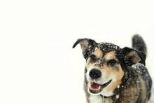 Happy German Shepherd Dog Outs...
