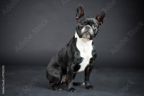 Foto auf Leinwand Französisch bulldog Französische Schwarz Weiße Bulldoge im Studio