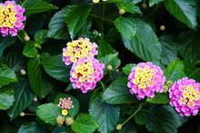 Colorful Lantana Camara Blooming In Summer Garden