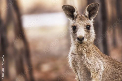 Poster Kangaroo Eastern Grey Kangaroo (Macropus giganteus)