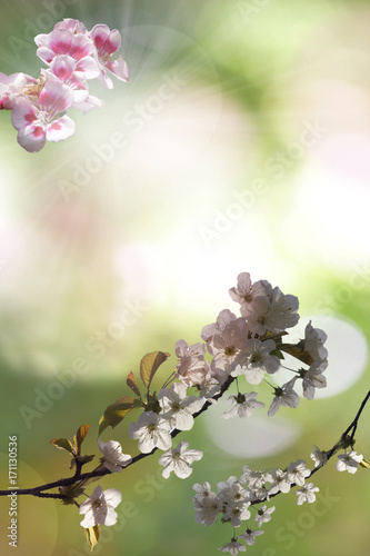 Almond tree in blossom beautiful плакат