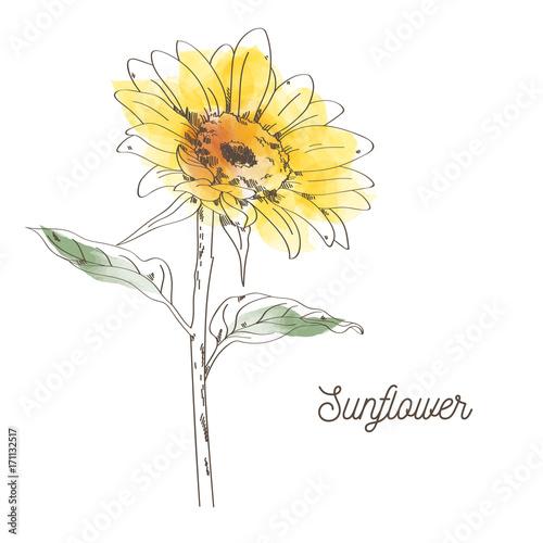 Yellow sunflower illustration design on white background