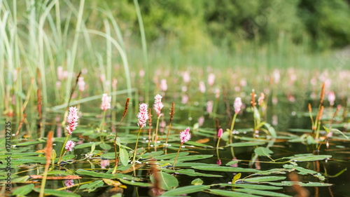 Longroot smartweed (persicaria amphibia) flowers on water surface Wallpaper Mural