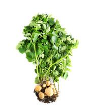 Potato Plant With Tubers On White Background
