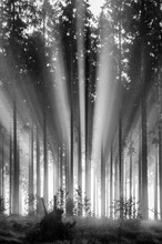 Foggy Spruce Forest In The Morning, Monochrome, Black And White. Misty Morning With Strong Sun Beams In A Spruce Forest In Germany Near Bad Berleburg, Rothaargebirge. High Contrast And Backlit Scene.