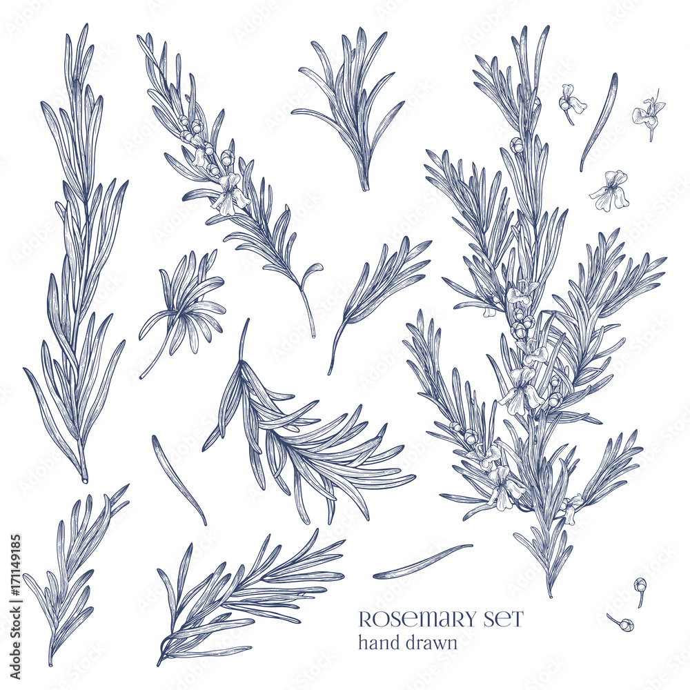 Fototapety, obrazy: Collection of monochrome drawings of rosemary plants with flowers isolated on white background. Fragrant herb hand drawn in retro style. View from different angles. Botanical vector illustration.