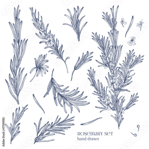 Photographie Collection of monochrome drawings of rosemary plants with flowers isolated on white background