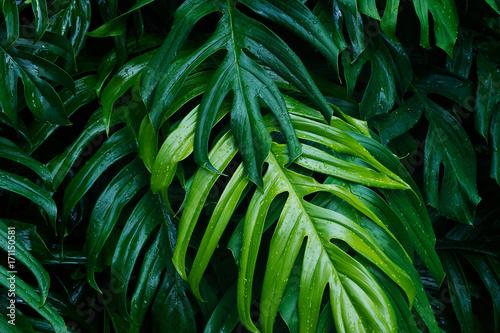 tropikalna-zielen-opuszcza-po-padac-na-ciemnym-tle-natury-lata-rosliny-lasowy-pojecie