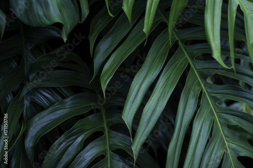 Tropical green leaves on dark background, nature summer forest plant concept Poster