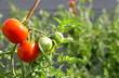 Leinwanddruck Bild - culture de tomate bio, en agriculture