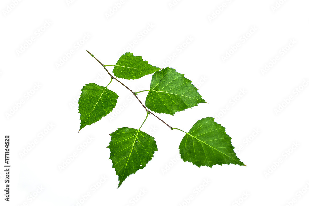 Green twig of a birch on a white background