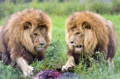 Zdjęcie XXL Dwa lwy i jedna ofiara