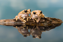 Two Amazon Milk Frogs Reflecte...