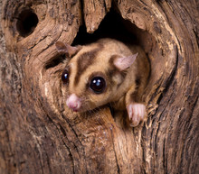 Closeup Of A Sugar Glider Squi...