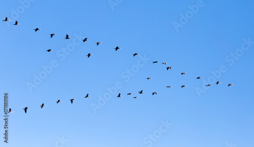 a flock of birds flying south in the blue sky Canvas Print