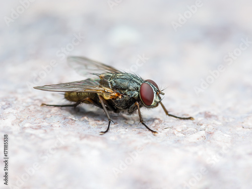 Meat Fly Diptera Insect On Wall