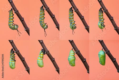 Obraz na płótnie Monarch butterfly pupation, metamorphosis from caterpillar to chrysalis
