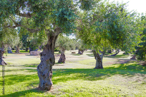 Tuinposter Olijfboom Olives de Sicile