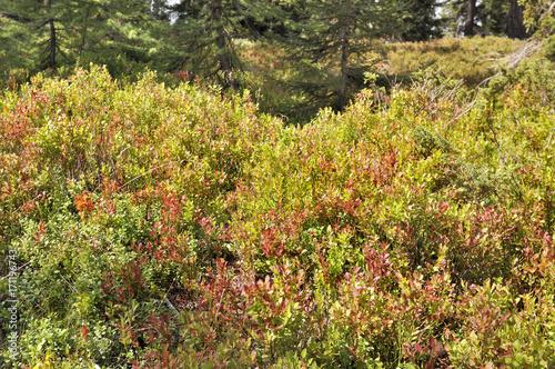 Plakat krzew biorący ich kolor jesieni