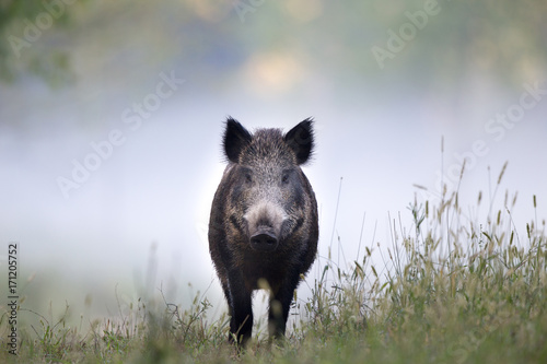 Wild boar in fog Fotobehang